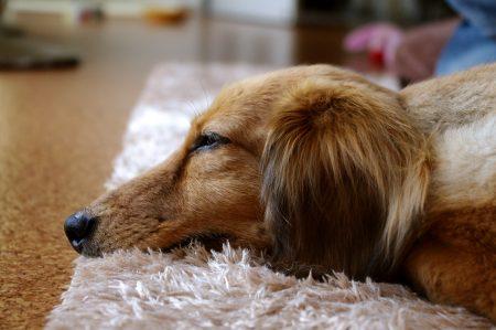 夢を見ている犬